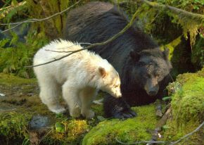 Au coeur de la Great Bear Rainforest